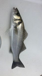 European Bass — Jean Marie Lacombe