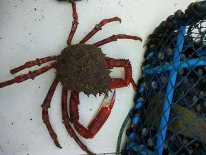 Araignée de Mer Atlantique — Yannick Lg