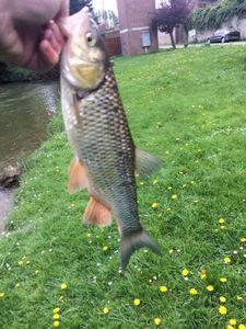 Chub — Flox Fishing