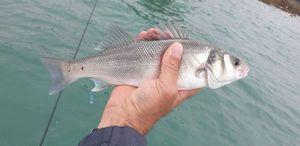 European Bass (Seabass) — Eric Hamon