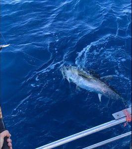 Southern Bluefin Tuna — Flo Mdg