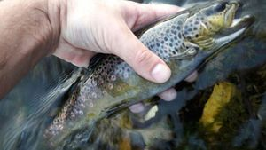 Brown Trout — Raph Ngy
