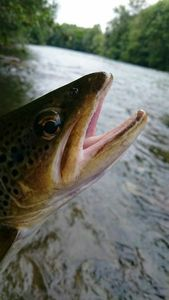 Brown Trout — Bruno  Cot