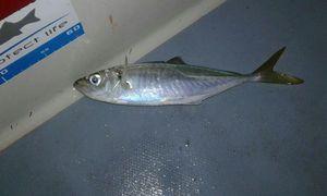 Atlantic Horse Mackerel — Alwin Merlet