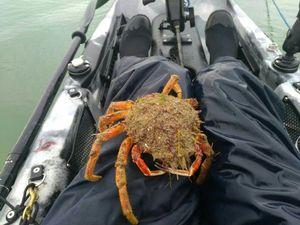 European Spider Crab — Christophe Curie