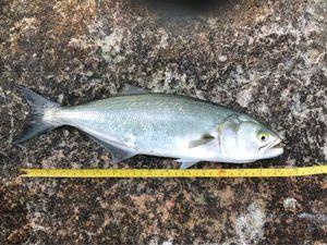 Bluefish — Adrien Gacon