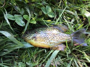 Green Sunfish — Romain Tornavacca