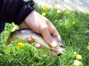 Brown Trout — Victor Vermand