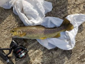 Brown Trout — Gilles POUILLY
