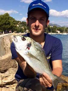 Gilthead Seabream — Thomas Gaziello