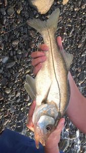 Snook (Brochet de Mer) — Shadow REX