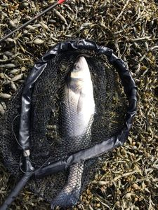 European Bass (Seabass) — Nicolas Cadiou