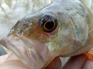 European Perch — P Fish