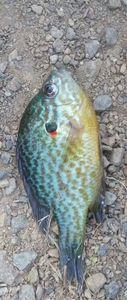 Green Sunfish — Julien Lesoudard