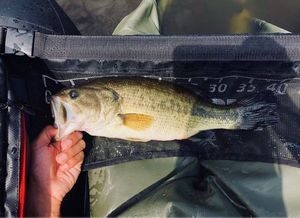 Largemouth Bass — Marlon Josephine
