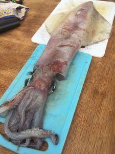 European Squid — Harold Goaër