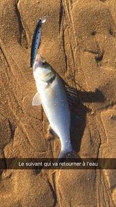 European Bass (Seabass) — Léo Esjeso