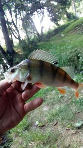 European Perch — Gobniu Naetnarsson