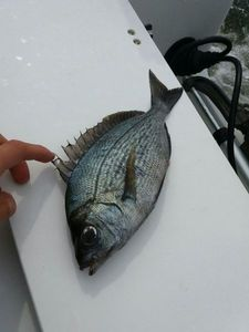 Black Seabream — Maxime Gueguen