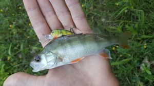 European Perch — Valentin Salmon