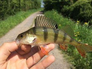 European Perch — Titou Quillet