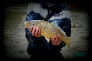 Common Carp — Nicolas Perot