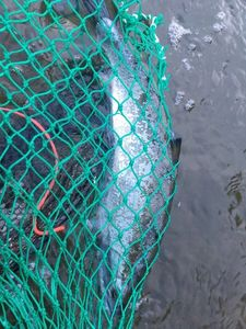 Red-Spotted Masu Salmon