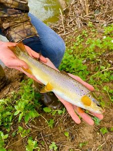 Brown Trout — Clement  Richard