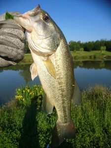 Largemouth Bass — Guillaume Caponi