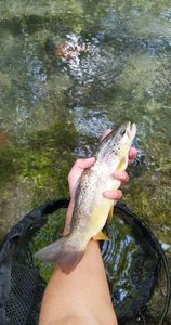 Brown Trout — Romain Ponsardin