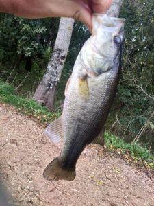 Largemouth Bass — Romain Ricoleau