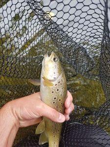 Brown Trout — Robin Monkey Fishing