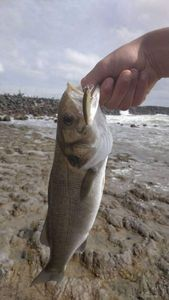 European Bass (Seabass) — Hugo Champion