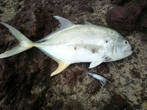 Blue Spotted Trevally — Eric Vincent