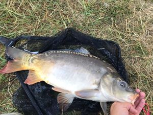Mirror Carp — Anthony Marchais