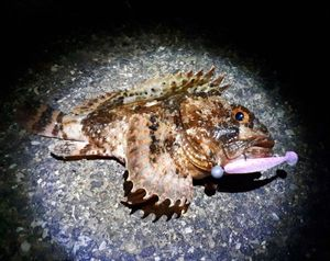 Brown Scorpionfish — Andrea Fusignani