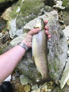 Brown Trout — Johann D