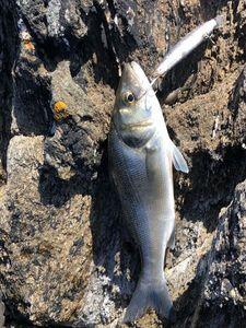 European Bass (Seabass) — Cedric Legall