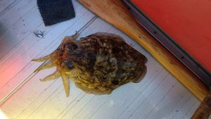 Common Cuttlefish — Fabrice Fortin