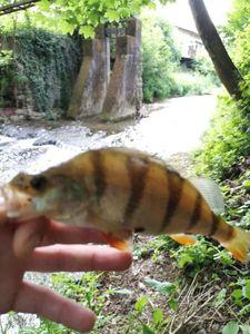 European Perch — RosKa Fisha