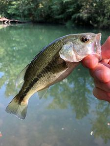 Largemouth Bass — Filet -O- fish