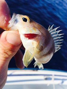 Redfish — Tony Fish