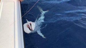 Requin Cuivre — Jerome Coquet