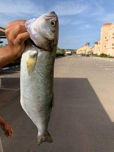 Bluefish — Hicham Moumni