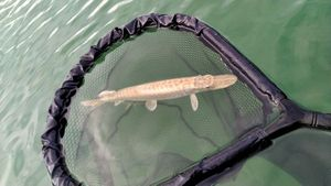 Northern Pike — Vincent Ponche