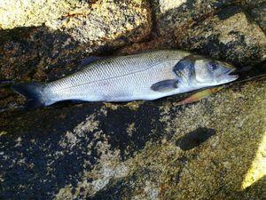 European Bass (Seabass) — Pascal MOREAU