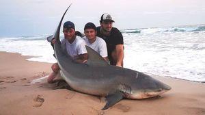 Requin Bouledogue — Pierre-louis Milan