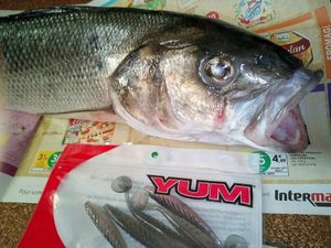 European Bass (Seabass) — Geoffrey Rose Fishing