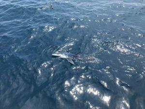 Requin Bleu (Peau Bleue) — Maxence Louis