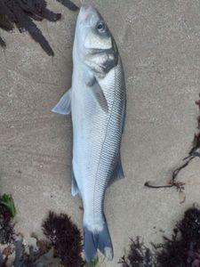 European Bass (Seabass) — Raphaël kaz